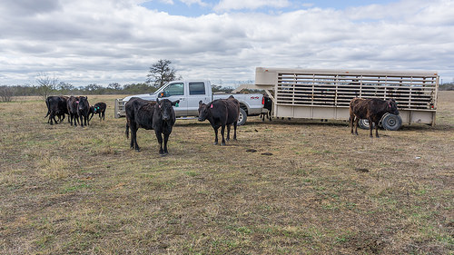 Post-military, Josh Eilers manages a Wagyu beef herd outside of Austin, Texas.